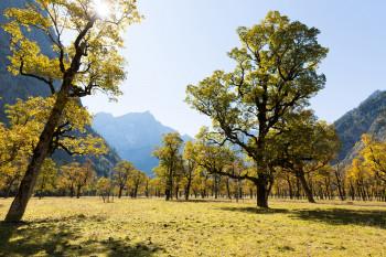 Rund 2.500 Bergahornen erheben sich auf den Almböden im hintersten Rissbachtal.