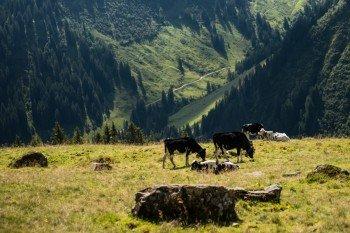 Sommerfrische für die Kühe