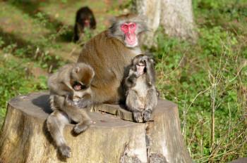 Der Affenberg Landskron ist ein ideales Terrain für Verhaltensforscher.