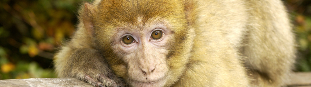 200 bright Barbary macaques live in the wild in Salem.