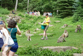 During feedings at Kintzheim Monkey Mountain, visitors learn interesting facts about the macaques.