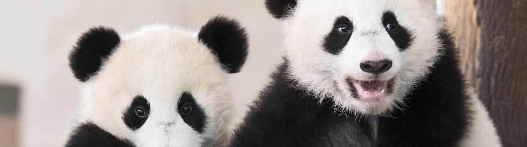 Die Pandazwillinge Fu Feng und Fu Ban, die 2016 hier zur Welt geboren wurden, sind eine ganz besondere Attraktion.