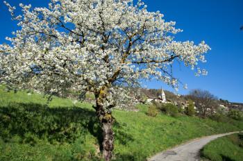 Besonders schön ist die Wanderung im April und Mai, wenn die Zwetschkenbäume blühen.