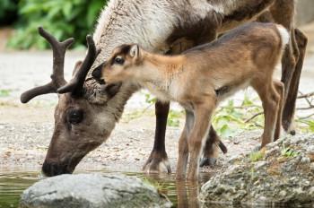 Bei der Wiedereröffnung warten im Tiergarten Schönbrunn zwei Rentier-Babys auf die Besucher.