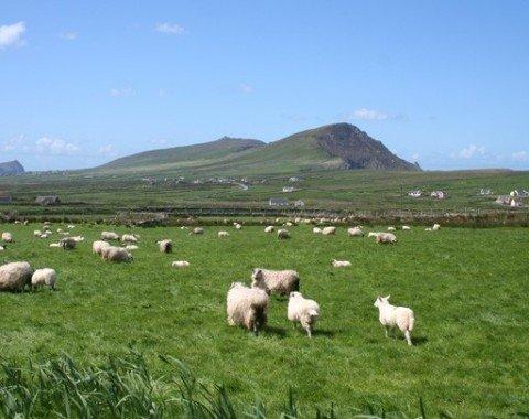 Sheep graze in front of Brandon Mountain.