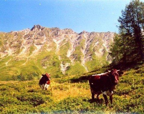 Kühe auf der Glettnalm im Sommer