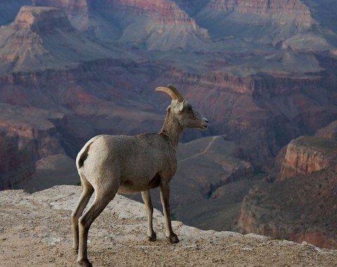 Dickhornschaf am Grand Canyon