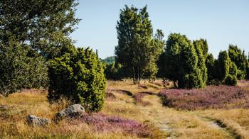 Das Lila der Heideblüten färbt im August und September die Landschaft.
