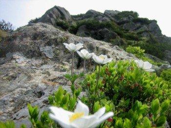 Alpenblumen am Saukarfunktel.