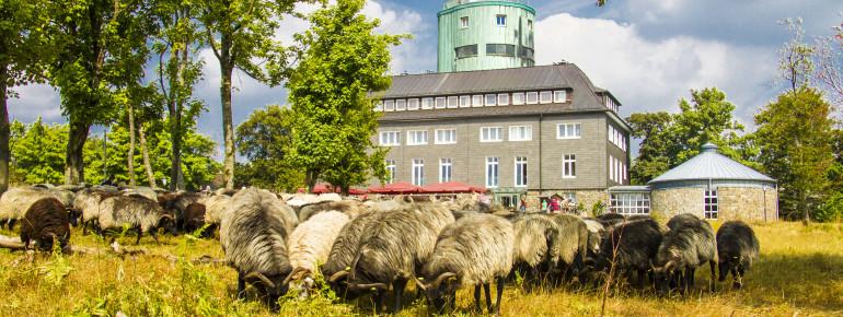 Schafe grasen am Kahlen Asten, im Hintergrund die Wetterstation.