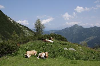 Während der Wanderung triffst du immer wieder auf Almkühe.