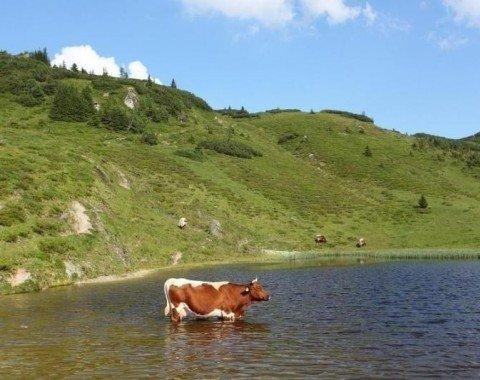 Eine Kuh kühlt sich im oberen Paarsee ab