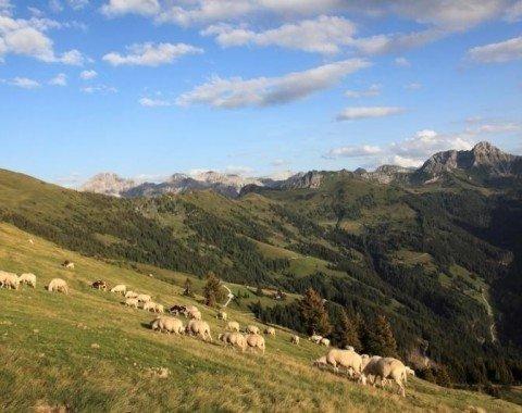 Auch Schafe und viele andere Tiere sind auf der Henerbichlalm beheimatet
