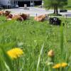 Die Kühe grasen in Zauchensee oftmals direkt neben den Straßen.