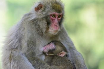 Das Österreichische Forschungszentrum für Primatologie erforscht am Affenberg u.a. das Sozialverhalten der Tiere.