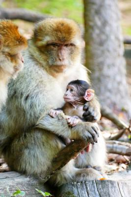 Berberaffen sind eine stark gefährdete Makakenart.