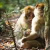 Wissenschaftler erforschen am Affenberg das Sozialverhalten der Tiere.