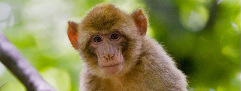 Die Primaten stammen ursprünglich aus Marokko und Algerien.