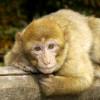 Auf dem Affenberg Salem leben mehr als 200 Berberaffen.