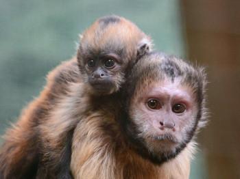 Auch viele Jungtiere gibt es im Zoo zu sehen, wie diese Gelbbrust-Kapuzineräffchen.