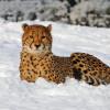 Auch im Winter kannst du den Zoo besuchen und beispielsweise diesen Geparden im Schnee beobachten.