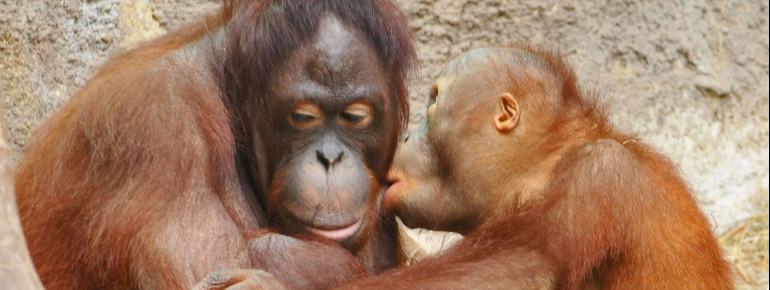 Die Orang-Utans Mandi und Ito leben in der Zoorangerie.