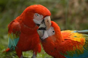 Die Hellroten Aras gehören zu den größten Papageien der Welt.