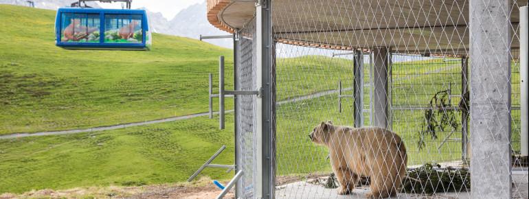 Bär Napa blickt auf die Gondel der Weisshornbahn. Ob er schon auf die Besucher wartet?