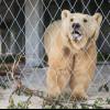 Nach seiner Ankunft lernt Bär Napa zunächst das Gehege kennen, bevor er sich nach der Eingewöhnung auf dem großen Freigelände austoben darf.
