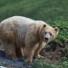 Napa erkundet fleißig die Landschaft im Bärengehege.
