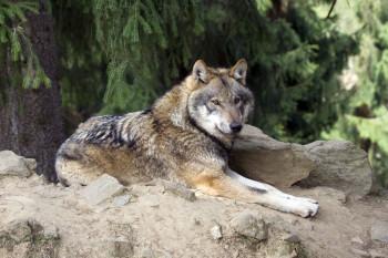 Beliebter Bewohner im Bayerwald-Park: der Wolf