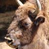 6.000 Jahre alte Tierart: der Wisent