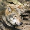 Der eurasische Wolfs