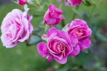 "Rose ""My Girl"""