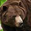 Wahrzeichen Nordamerikas: Der Grizzly