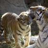 Ein Tigerjunges und seine Mama genießen die Sonnenstrahlen im Außengehege.