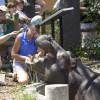 Tierpfleger füttern ein hungriges Nilpferd vor den Augen zahlreicher begeisterter Zoobesucher.