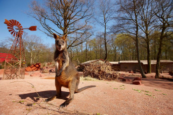 In der Themenwelt Outback leb unter anderem auch das Sumpfwallaby.