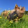 Glückliche Schweine leben auf Gut Aiderbichl in Deggendorf.