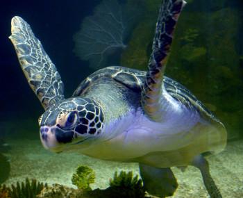 Das Haus des Meeres beheimatet sechs Arten von Meeresschildkröten.