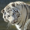 Durch eine Veränderung im Erbgut kommt es zu weißen Königstigern.