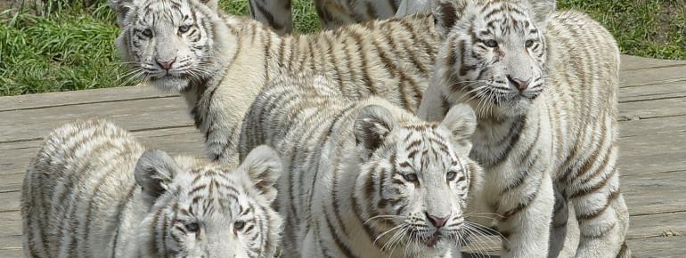 Von der Maharadscha-Tribüne kannst du die Tiger hautnah beobachten.