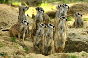 Im Kölner Zoo kannst du einen neugierigen Blick auf das spannende Leben der Erdmännchen werfen.