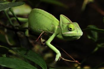 In den über 60 Terrarien des Zoos leben viele exotische Tierarten. Jemenchamäleons sind mit die größten Chamäleons ihrer Art.