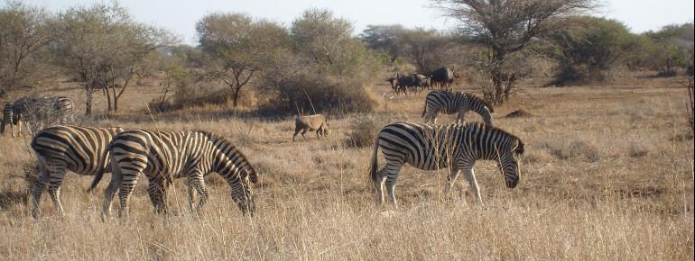 Beobachte Zebras und viele weitere Wildtiere.