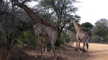 Auch Giraffen sind hier zu Hause.