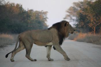 Auf einer Fahrt durch den Kruger Nationalpark kann es durchaus sein, dass ein Löwe deinen Weg kreuzt.