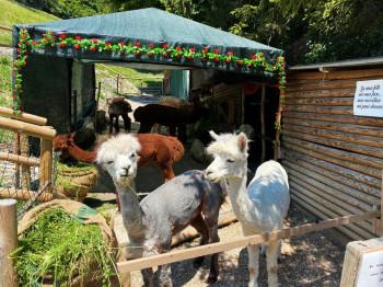 Von Spiazza aus führt ein rund 15-minütiger Fußweg mit Kreuzgang zur Kirche - dort begrüßt dich von Zeit zu Zeit eine Herde Alpakas.