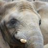 """Die Afrikanischen Elefanten leben im Zoo in Afrikas Tierwelt """"Africambo""""."""