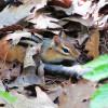 Streifenhörnchen im Laub